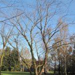 Betula nigra – Schwarzbirke – Fluss-Birke – Betulaceae – Birkengewächse