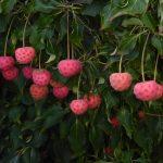 Cornus kousa 'Cappuccino' Pflanze des Monats Juni 2016