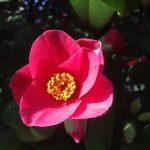 "Pflanze ""Camelia"" des Monats April"