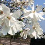 Plfanze des Monats März 2019 Magnolia