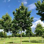 Chinesischer Guttaperchabaum